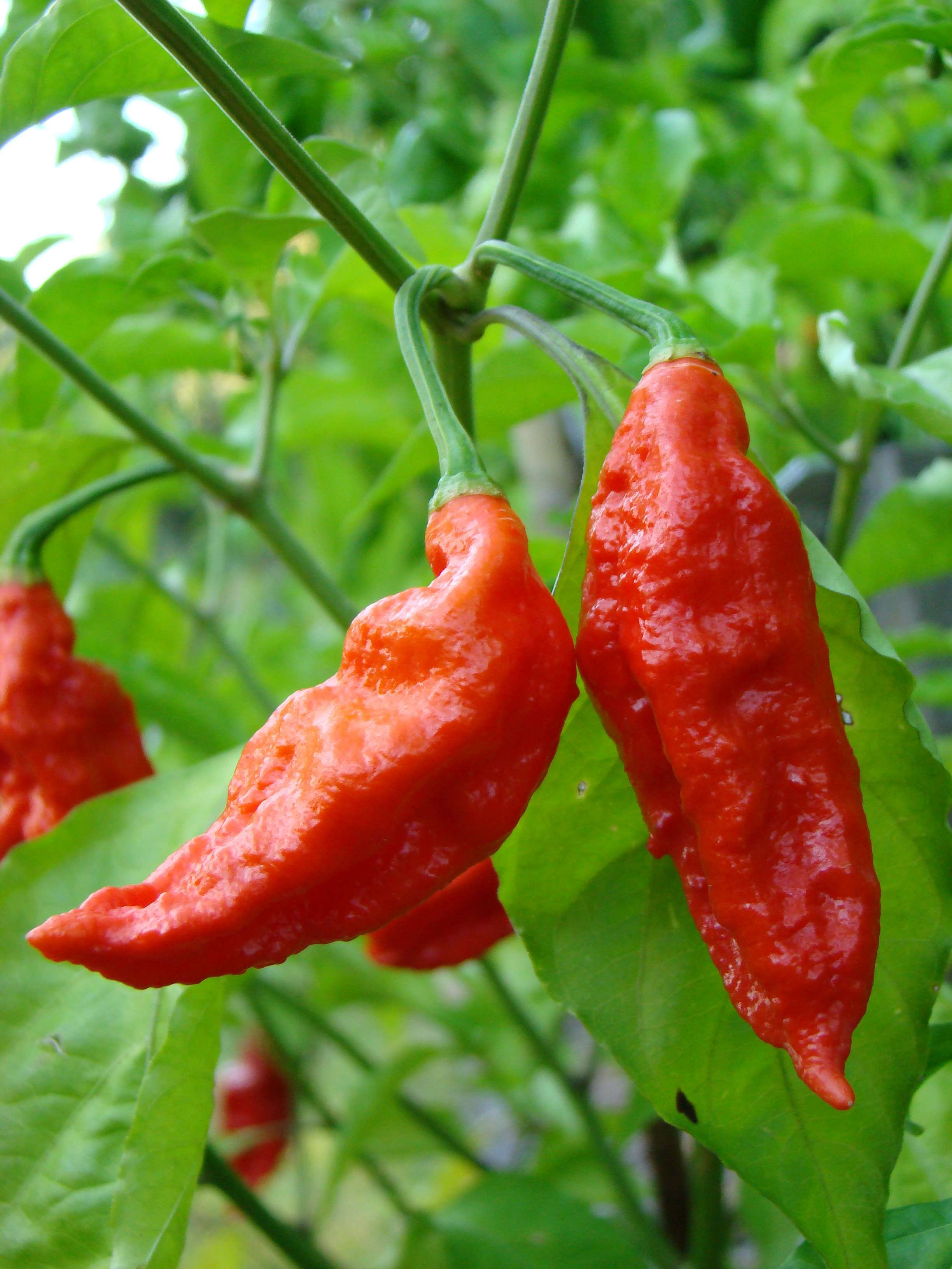 Bhut Jolokia Is No More The World S Hottest Chili