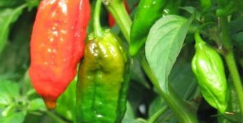 The World's Hottest Chilli