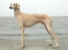 Dog Breeds of India