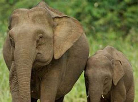 indian-elephants